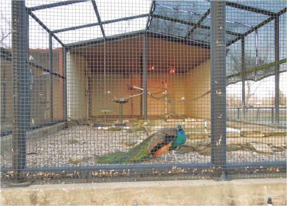 peacock pics from aviary